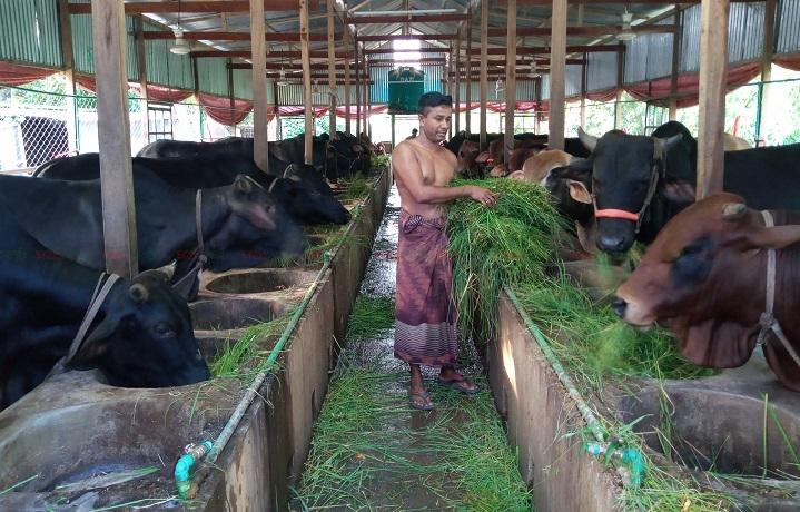 Bera Pabna Cow