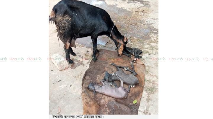 goat+baffalo born+ishurdi